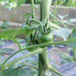 トマトのてんとう虫対策 アイキャッチ