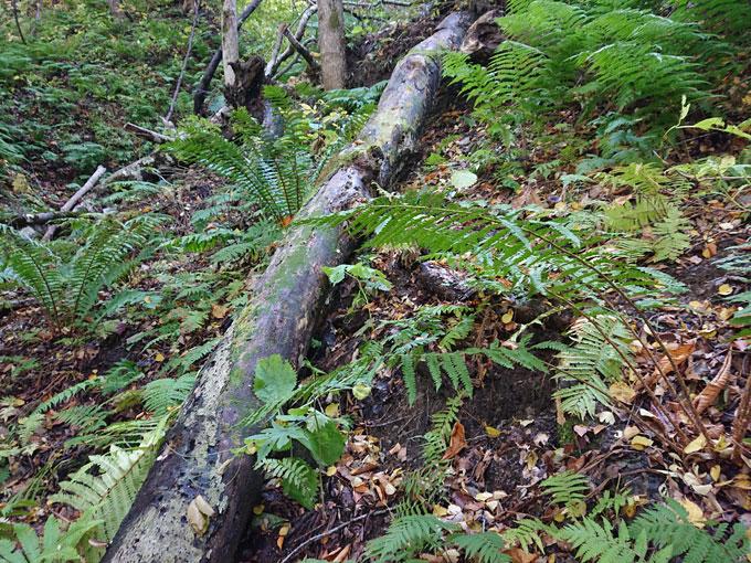 今年のナメコの木の写真
